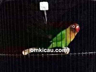 Lovebird Junior