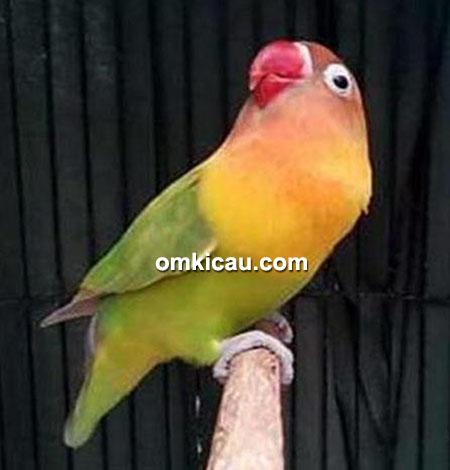 Lovebird Lastri