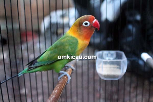 Lovebird Ming Ming