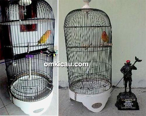 lovebird Woyo-Woyo