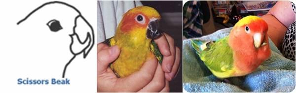 Gambar burung yang mengalami paruh gunting atau menyilang