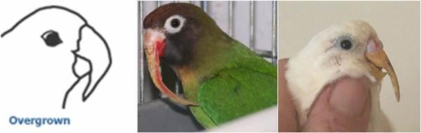 Gambar burung yang alami paruh tumbuh berlebihan