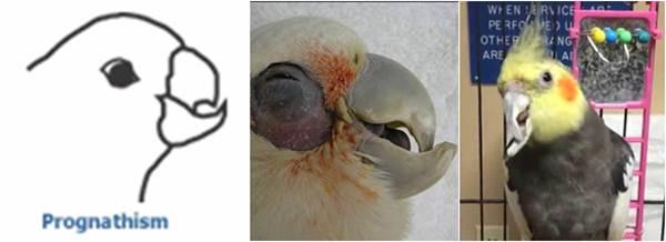 Gambar burung yang mengalami paruh tumbuh ke dalam