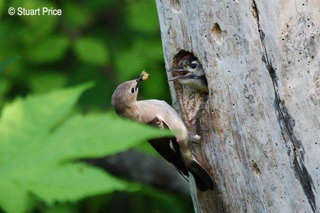 Indukan yang sedang memberi makan anaknya dari sebuah lubang sarang