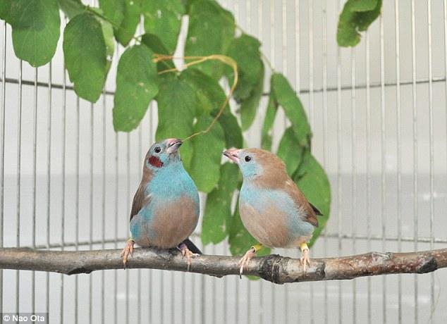 Ritual perkawinan cordon-bleu finches