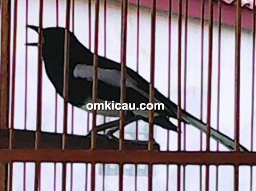 Kacer Elang milik Om Iwan