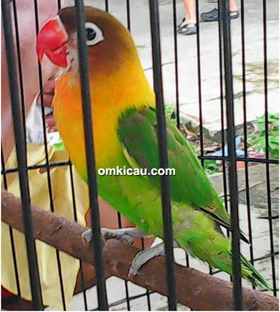 Lovebird Donita