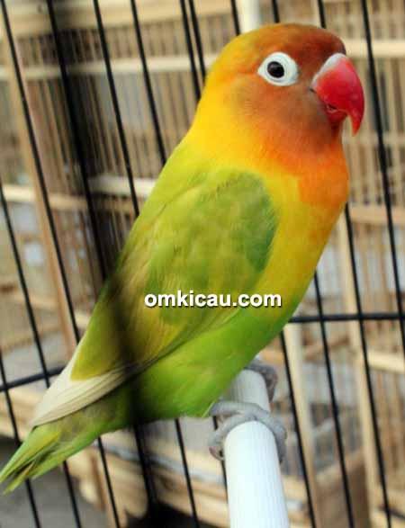 Lovebird Encun