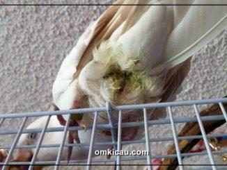 Bulu-bulu yang kotor sekitar kloaka