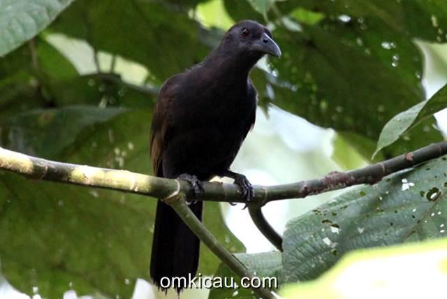 Cenderawasih gagak yang penampilannya lebih mirip burung gagak