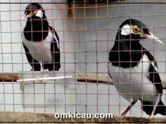 Burung jalak suren di sebuah kandang penangkaran