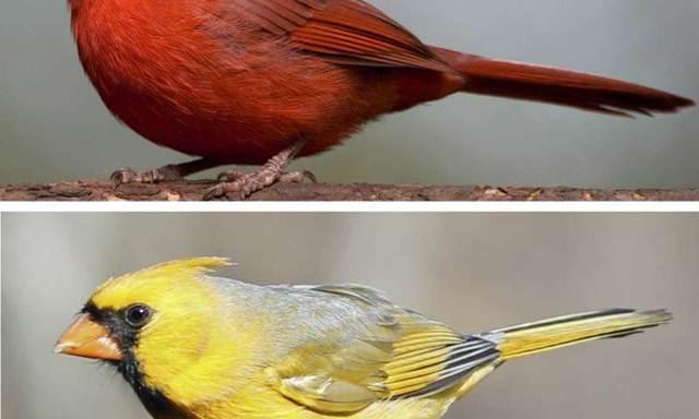 cardinal merah dan kuning