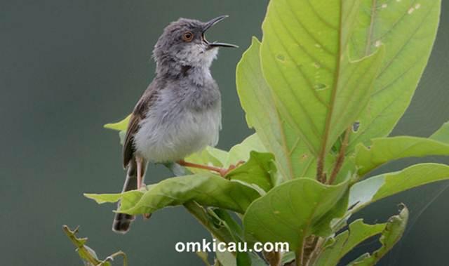 Gambar burung ciblek dada dabu India atau Grey-breasted prinia