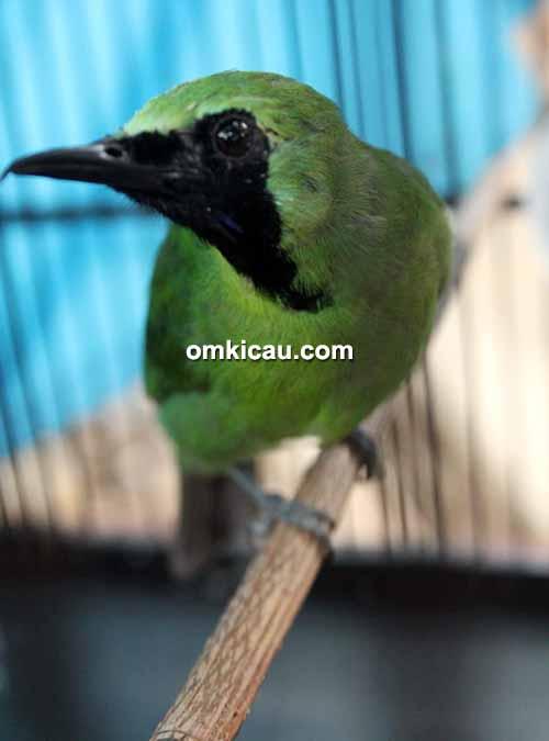 Cucak hijau Ashura
