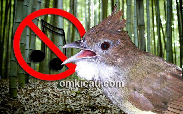 Empat penyebab burung cucak jenggot tidak mau ngebeset