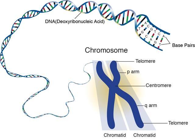 Telomere dalam DNA mahluk hidup