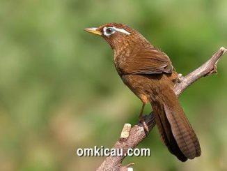empat cara merawat burung hwamei agar rajin berbunyi