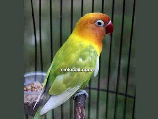 Lovebird Bibi Lung