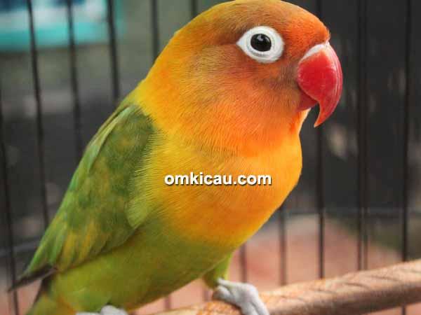 feat lovebird Ming Ming