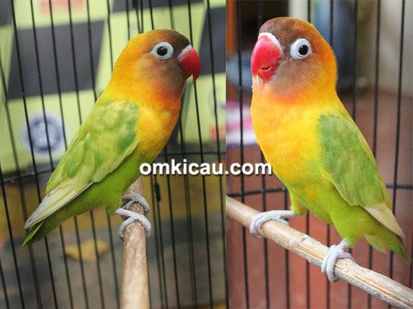 Download suara burung lovebird Zuviter