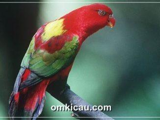 Kasturi ternate burung endemik Maluku Utara