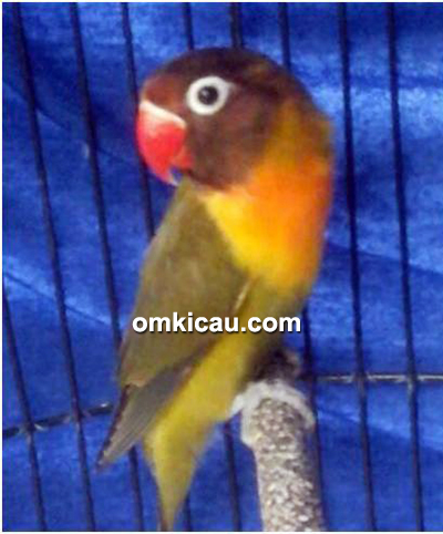 Lovebird Omar