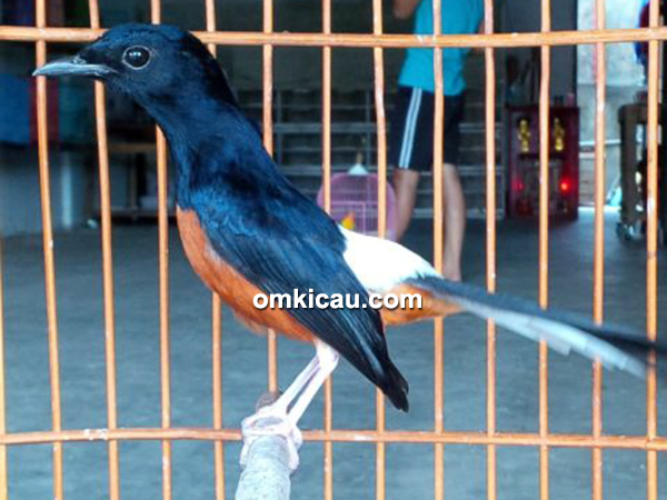 Leuser Bird Shop Pekanbaru