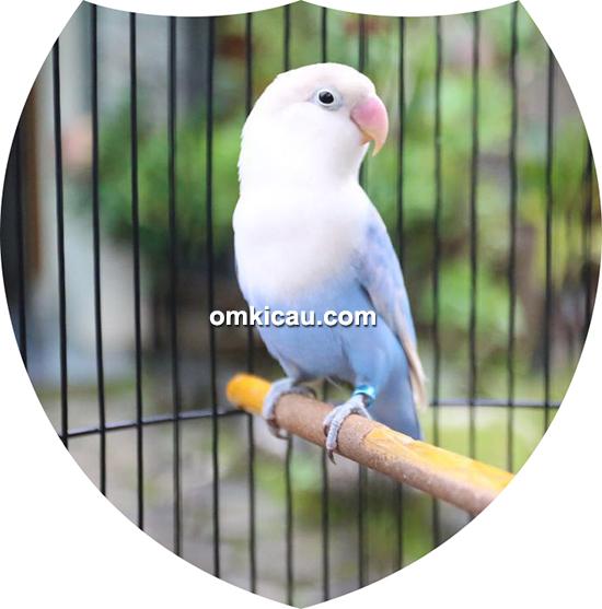 lovebird Candy