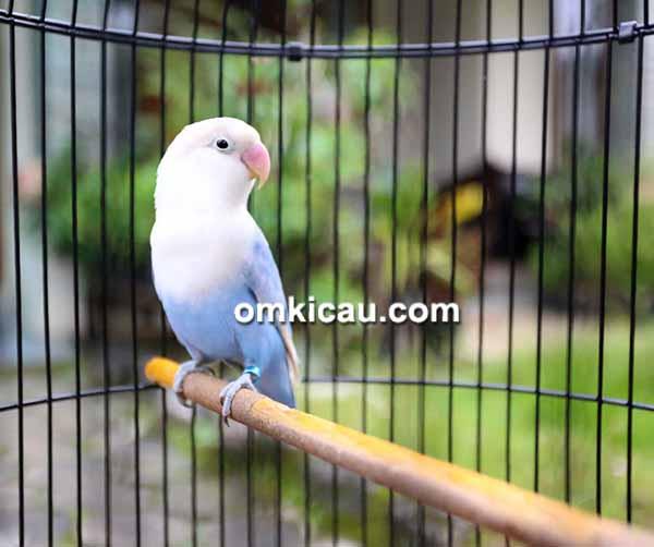 Lovebird Candy milik Om Rizki RWP