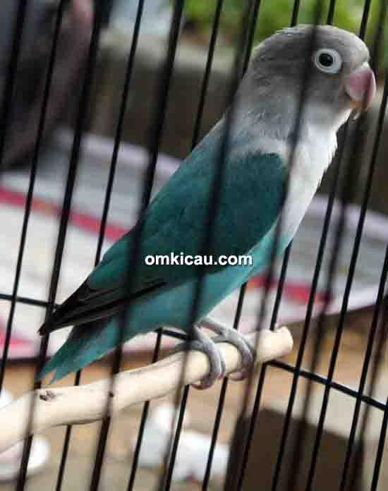 Lovebird Ronggeng