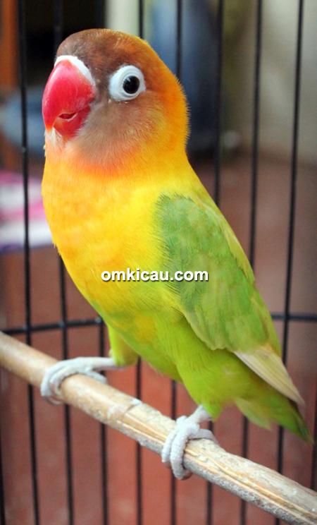Lovebird Zuviter