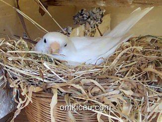 Perilaku merusak sarang bisa menimpa semua jenis burung peliharaan termasuk kenari