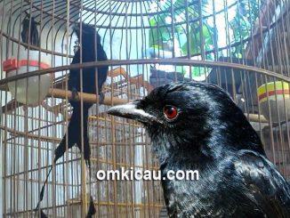 Merawat dan memaster burung srigunting