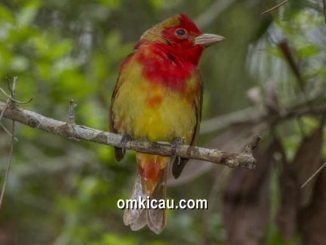 Warna merah menjadi daya tarik tersendiri bagi beberapa jenis burung