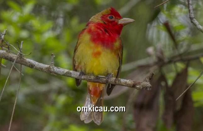 misteri warna merah pada burung