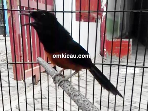 Suara burung murai batu ekor hitam