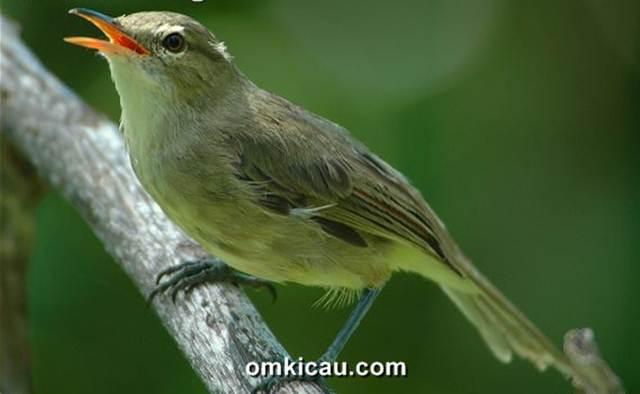 Burung seychelles warblers (Acrocephalus sechellensis)