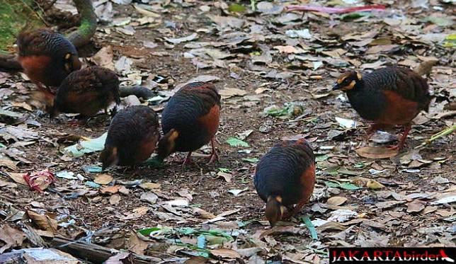 Sekumpulan burung puyuh-gonggon jawa di Taman Nasional Gunung Gede, Jawa Barat - Khaleb Yordan (Jakarta Birder)