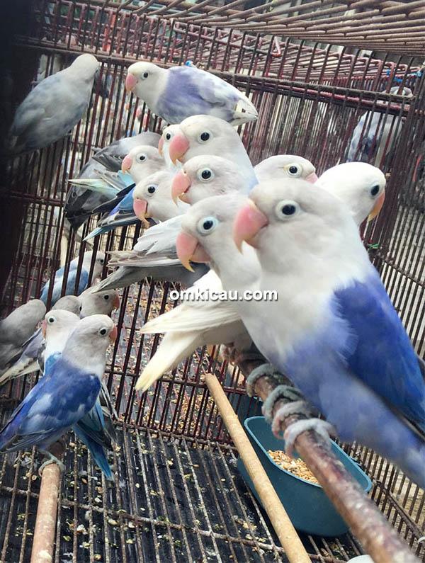 Kibar Exotic Birds Surabaya