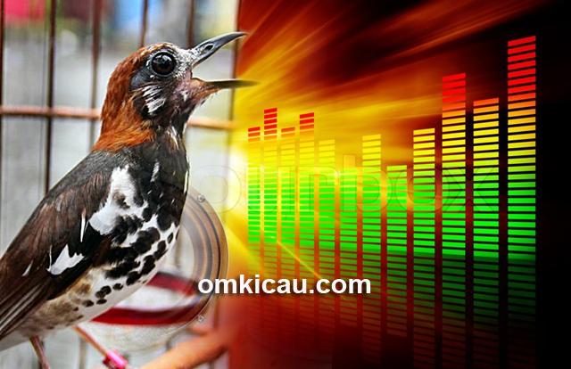 Suara terapi anis kembang betina