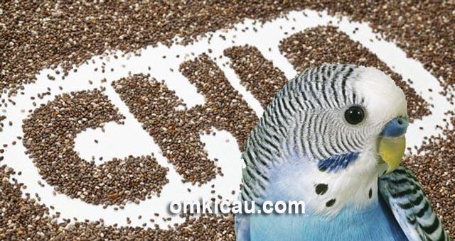 Biji chia / chia seed yang bermanfaat banyak untuk burung peliharaan