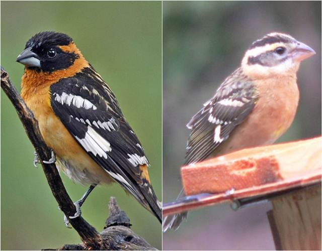 Black-headed grosbeak jantan (kiri) dan betina