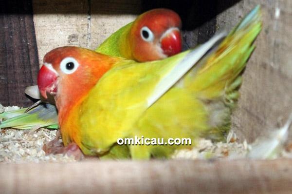 Breeding lovebird NSM BF Bogor