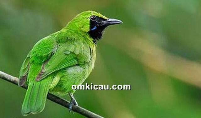 Tips mengatasi burung cucak hijau mini yang macet bunyi
