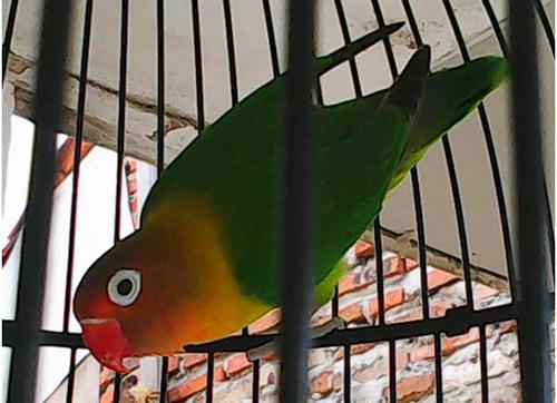Lovebird Chivas Regal