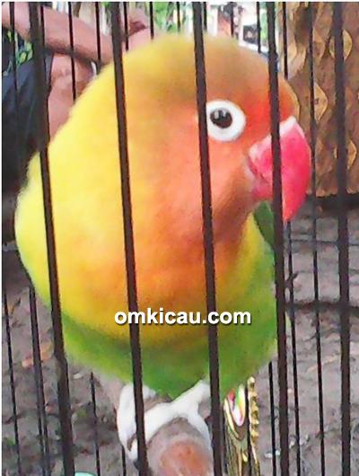 Lovebird Fitri