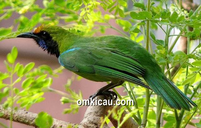 Burung cucak hijau yang terkadang memiliki perilaku didis ketika sedang dilombakan