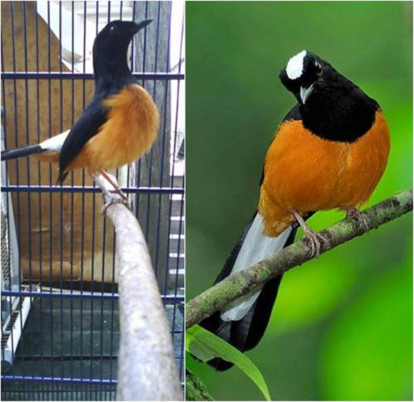 Suara burung murai batu Kalimantan/ borneo