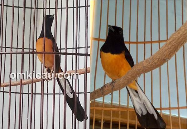 Suara burung murai batu sumatera