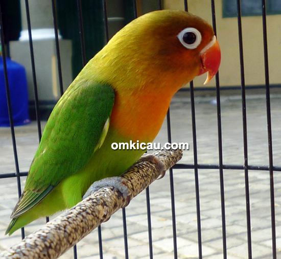 Lovebird Nirmala Jr 01